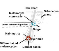 melanocyte stem cells